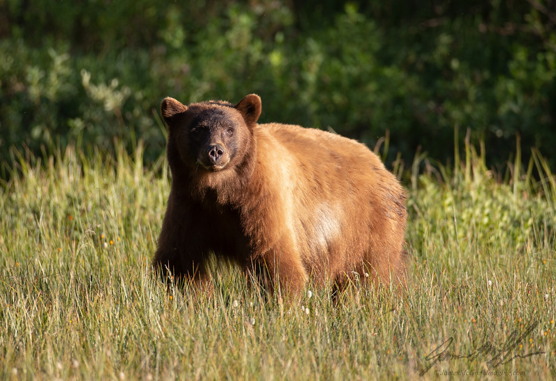 Adult Male Black Bear in a Yosemite high country meadow.