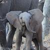Junger Elefant im Mapungubwe National Park im Dreiländereck Südafrika, Simbabwe, Botswana. junger Elefant, elephant, Loxodonta africana, Mapungubwe National Park, Limpopo, South Africa, Südafrika