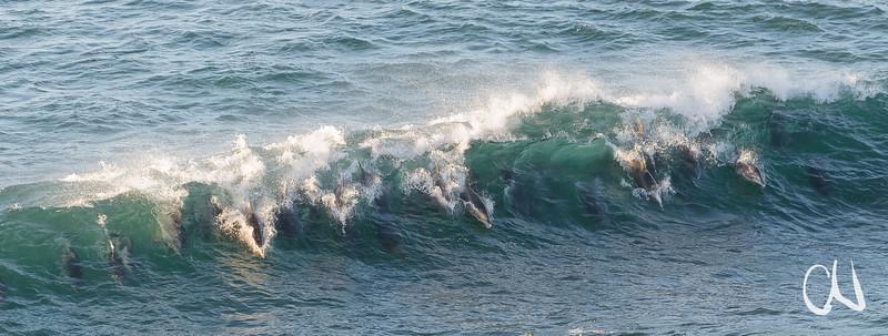 Delfine beim Wellenreiten, Double-Mouth Nature Reserve, Eastern Cape, Wild Coast, Südafrika, South Africa, Double-Mouth Nature Reserve, Eastern Cape, Wild Coast, Südafrika, South Africa