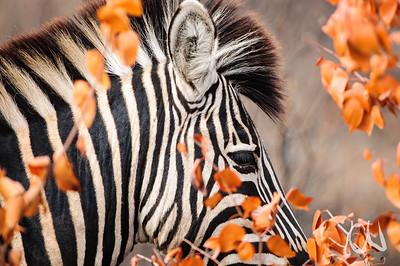 Zebra, Fell, Krüger Nationalpark, Kruger National Park, Südafrika, South Africa