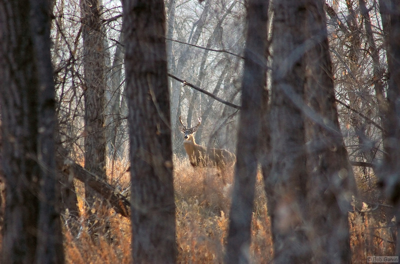 White Tail Deer<br /> Boulder County, Colorado<br /> Sawhill Ponds