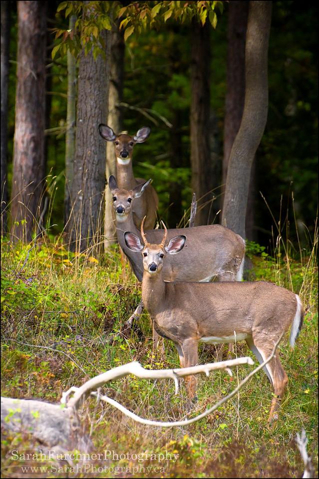 White-tailed Deer  <i>Odocoileus virginianus</i>