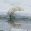 Polar Bear (ursus maritimus), cub looking at its reflection, Olga Strait, Svalbard, Norway