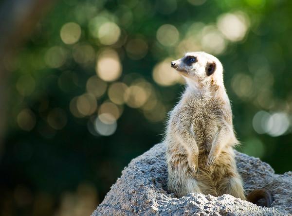 """Meerkat Dreaming"""