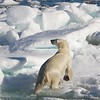 Polar Bear (ursus maritimus), on the pack ice, Olga Strait, Svalbard, Norway