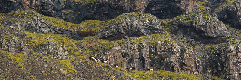 Mountain Goat, Iceland