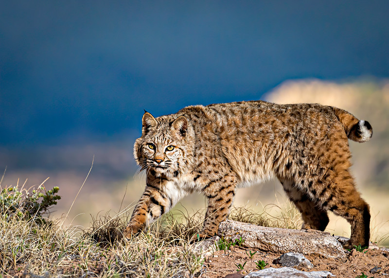 Bobcat - Arizona