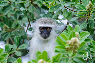 Grüne Meerkatze, Vervet monkey, Cercopithecus pygerythrus, peeking out of tree, green leaves, Greater St. Lucia Wetland Park, Südafrika, South Africa