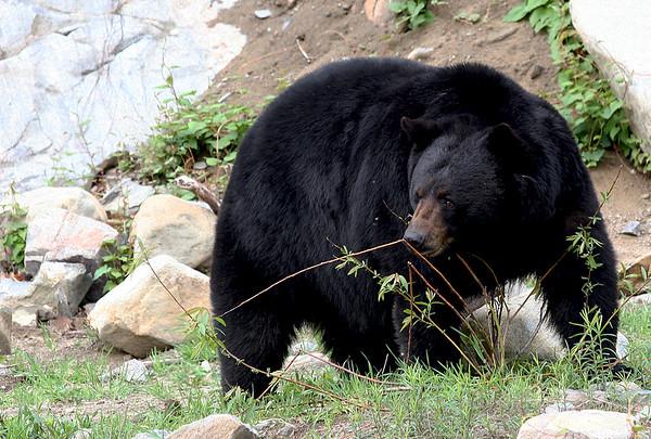 """Bear Necessities"""