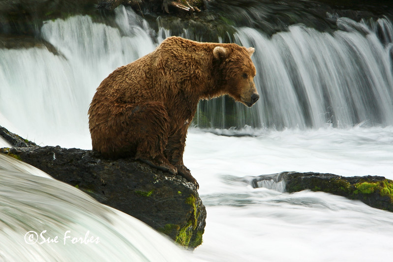 Waiting & watching<br /> Grizzly bear patiently waiting and watching for the salmon.  Brooks River, Katmai Peninsula, Alaska