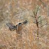 Steinböckchen (Weibchen) hat frische Akazienblättchen gefunden, zartes Grün, female Steenbok, Raphicerus campestris, Krüger National Park, Südafrika, South Africa