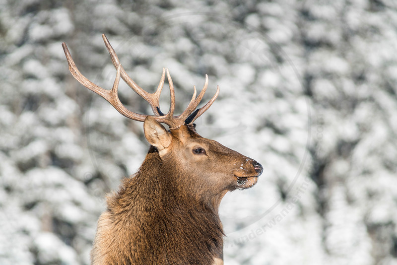 Majestic Bull Elk, Banff National Park