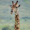 Portrait Giraffe, Hals und Kopf, (Giraffa camelopardalis), Hluhluwe-Imfolozi Game Reserve, Südafrika