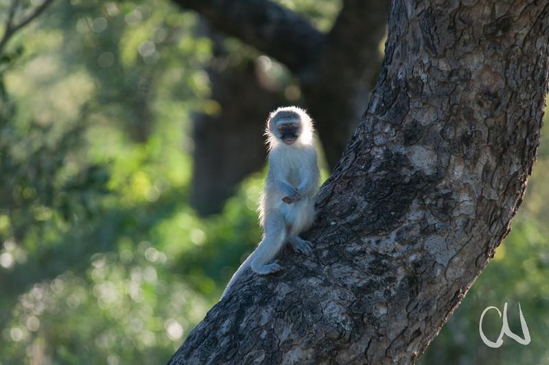 Grüne Meerkatze, Vervet monkey, Cercopithecus pygerythrus, Hluhluwe-Imfolozi Game Reserve, Südafrika, Hluhluwe-Umfolozi Game Reserve, Imfolozi, Südafrika, South Africa