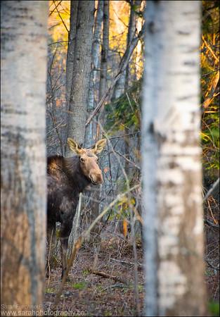 Moose. Alces alces