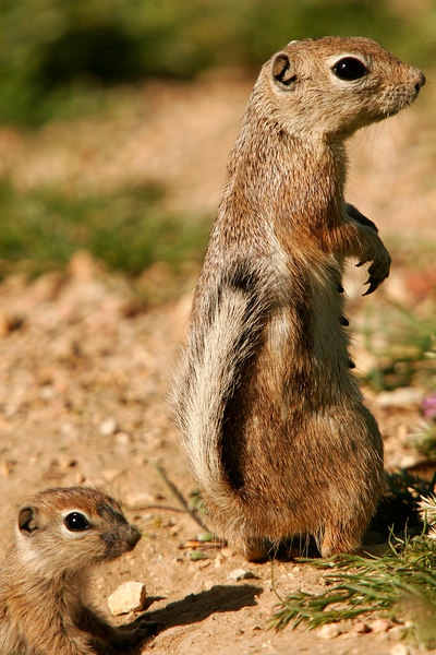 Mom and Baby Ground Squirrel, Carrizo Plains<br /> (California, 2006)