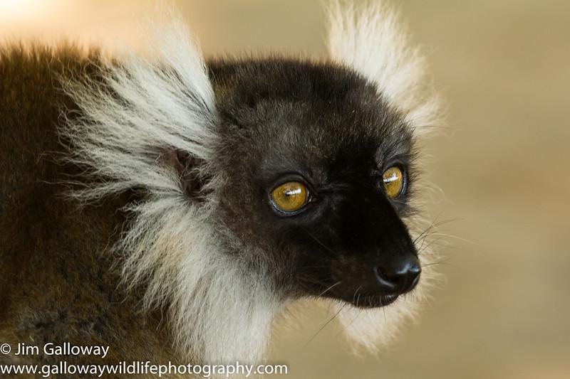 Unknown brown lemur species, Eulemur spp.