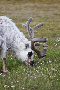 Bull Spitsbergen reindeer (rangifer tarandus platyrhynchus) grazing in Longyearbyen, Spitsbergen