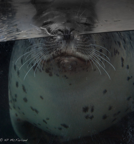 Harbor Seal (Phoque commun)