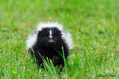 Curious skunk