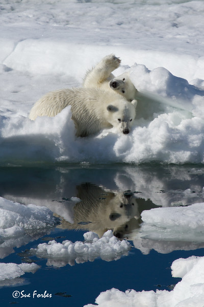 Polar Bear cubs (ursus maritimus) waiting patiently while the mother hunts, Olga Strait, Svalbard
