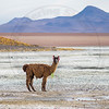 This lone Llama in southern Bolivia is showing some serious attitude at being photographed.