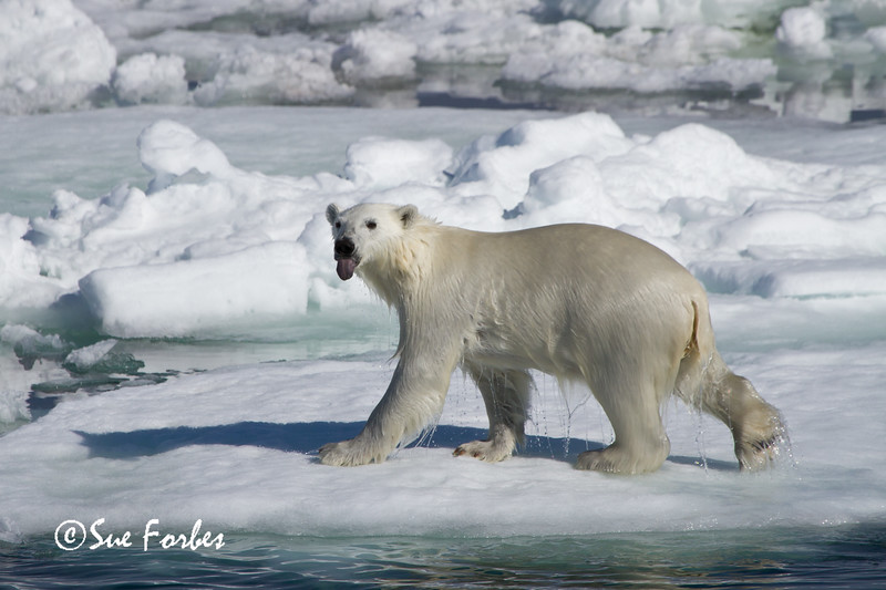 Polar Bear (ursus maritimus), on the pack ice, Olga Strait, Svalbard, Norway