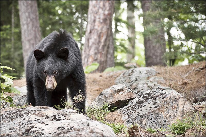 Black Bear  <i>Ursus americanus</i>