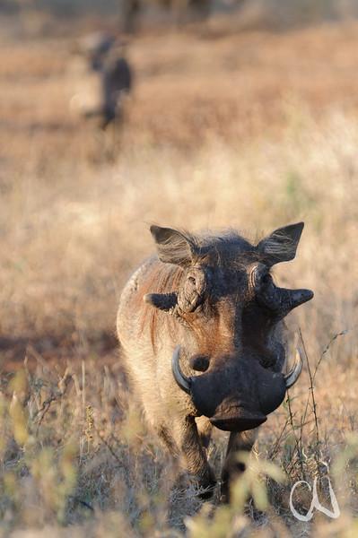 Warzenschwein Eber, im Hintergrund ein weiteres Warzenschwein, warthog, male, Phacochoerus africanus, Warzenschwein, Eber, Krüger National Park, Südafrika