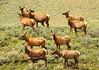 """""""Elk Herd"""""""