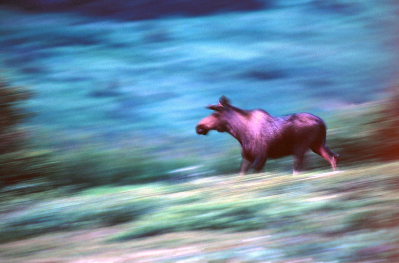Moose Fleeing, Yukon<br /> (Canada, 2004)