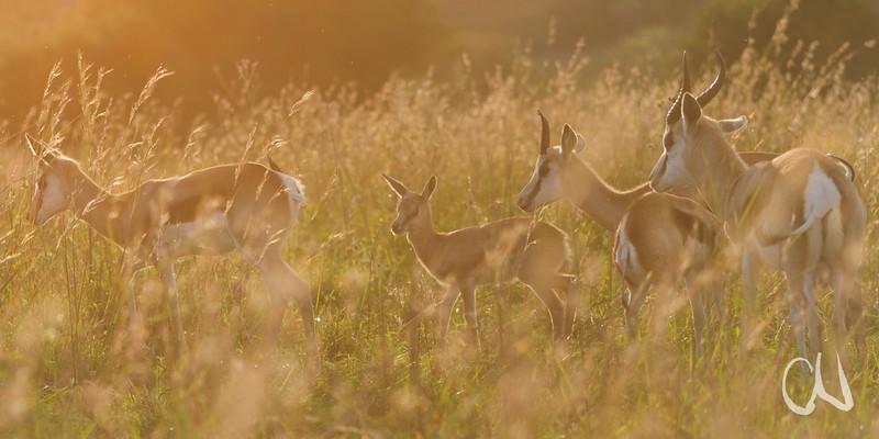Springbock, Springbok, Antidorcas marsupialis, Grasland, Antilope, Ungulate, Moreleta Kloof Nature Reserve, Pretoria, Südafrika, Moreleta Kloof Nature Reserve, Pretoria, Südafrika