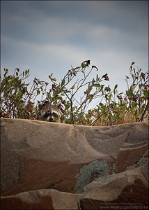North American Raccoon. Procyon lotor