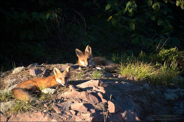 Red Fox kits Vulpes vulpes