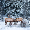 Bull Elk butting heads, Banff National Park