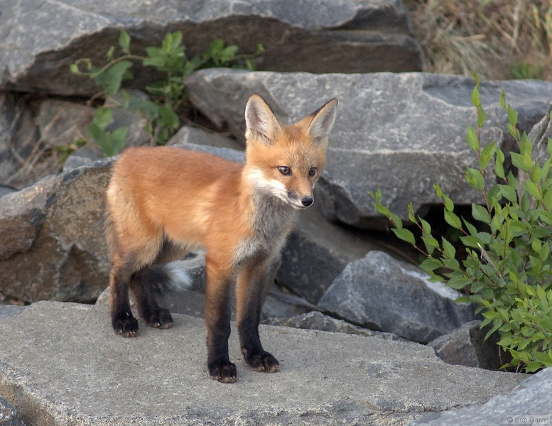 Red Tail Fox Pup<br /> Boulder County, Colorado<br /> N. 75th Street<br /> #6