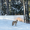 Coyote, Banff National Park