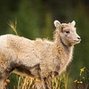 Big Horn Sheep Lamb, Banff National Park