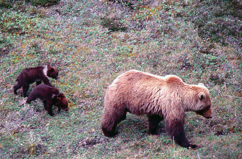 Grizzly Sow Leading Spring Cubs, Denali NP<br /> (Alaska, 2004)