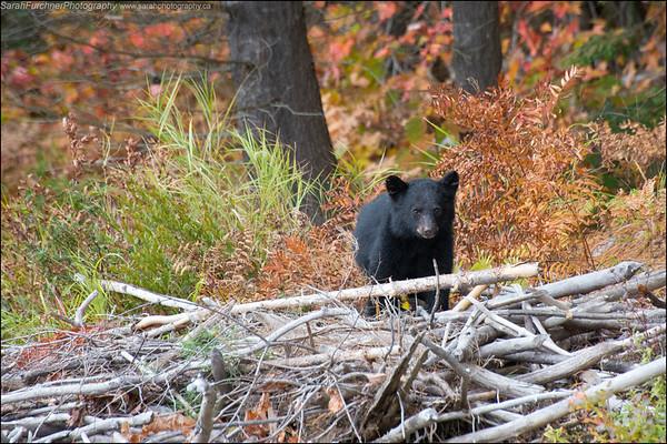 Black bear cub Ursus americanus