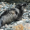 Grey Seal pup, Halichoerus grypus