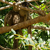 Common Brown Lemur,  Eulemur fulvus