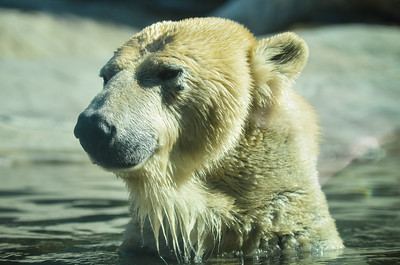 Polar Bear - San Diego Zoo