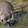Asian Short-clawed Otter, Amblonyx cinereus