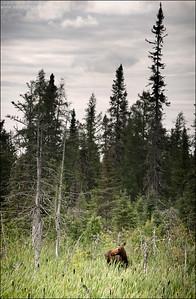 Moose  Alces alces