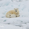 Polar Bear (ursus maritimus) mother & cub sleeping on the pack ice, Svalbard, Norway