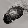 Harbor Seal (Phoque commun)