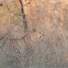 Leopard im hohen Gras, Panthera pardus, leopard in high grass, Krüger Nationalpark, Kruger National Park, Südafrika, South Africa