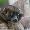 Nosy Be Sportive Lemur, Lepilemur tymerlachson