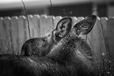 Urban Moose Black and white